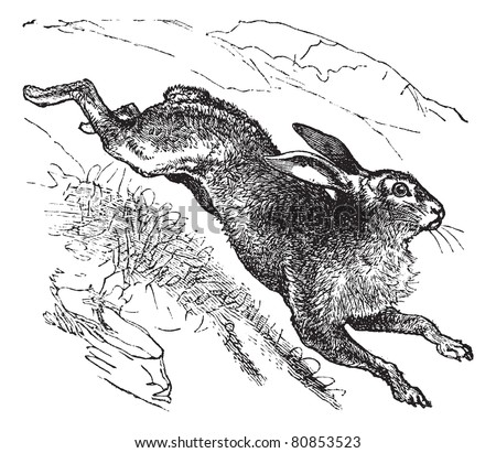 Mountain Hare (Lepus timidus) or Blue Hare or Tundra Hare or Variable Hare or White Hare or Alpine Hare or Irish Hare vintage engraved illustration. Trousset encyclopedia (1886 - 1891). - stock vector
