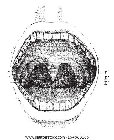 Mouth (inside of the cavity), vintage engraved illustration. Usual Medicine Dictionary - Paul Labarthe - 1885. - stock vector