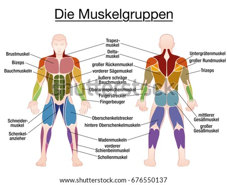 Muscle Chart German Labeling Most Important Stock Vector