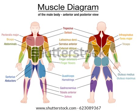 muscle diagram most important muscles athletic stock vector, Muscles