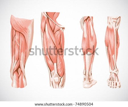 muscle system leg
