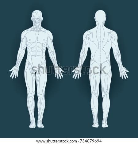 Muscles Body Vector Illustration Posterior Anterior Vector de ...