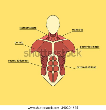 muscular system stock images, royalty-free images & vectors, Muscles