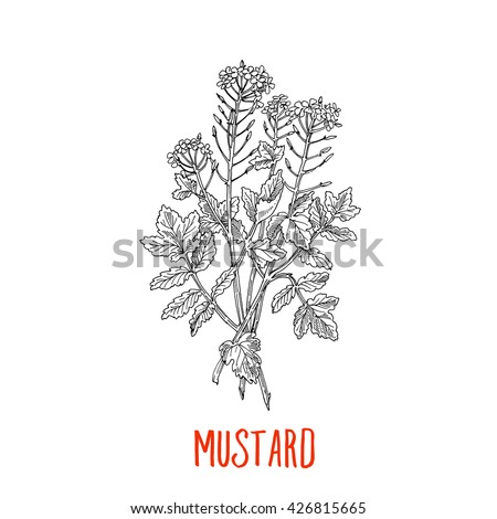 Mustard, hand-drawing pencil sketch, vegetarian spices - stock vector
