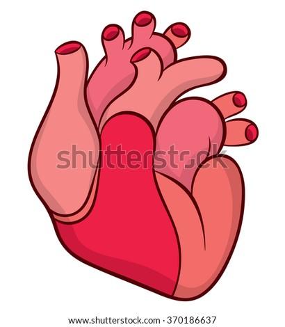 naturalistic real heart stock vector 370186637 shutterstock rh shutterstock com Cartoon Real Heart real human heart clipart
