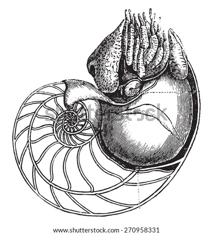 Nautilus, vintage engraved illustration. Natural History of Animals, 1880. - stock vector