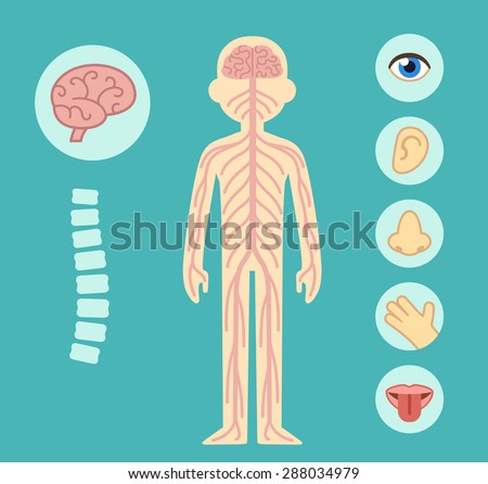 Nervous system infographic chart elements. Nerves, spine, brain and the five senses.  - stock vector