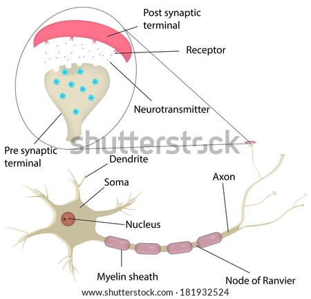 Neuron synapse labeled diagram stock vector hd royalty free neuron and synapse labeled diagram ccuart Choice Image