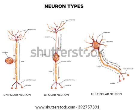 Neuron types, cells that is the main part of the nervous system.