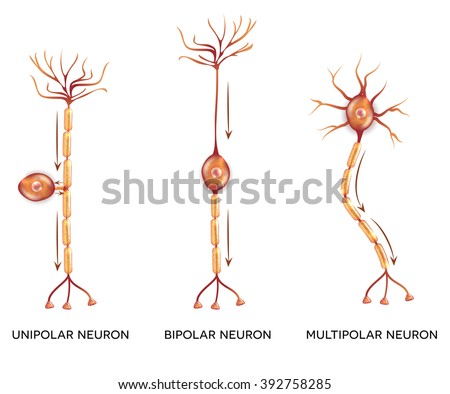 Neuron types, cells that is the main part of the nervous system.  - stock vector