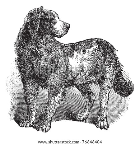 Newfoundland or Canis lupus familiaris, vintage engraving. Old engraved illustration of a Newfoundland. Trousset encyclopedia. - stock vector