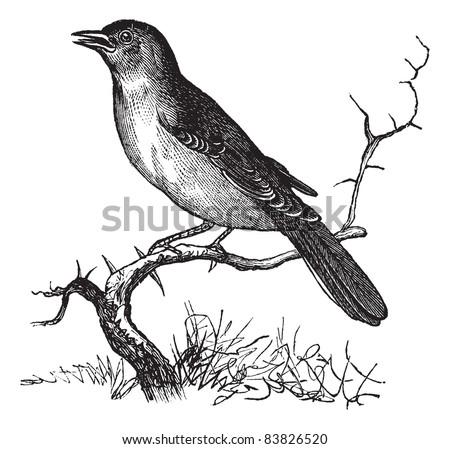Nightingale Or Luscinia Megarhynchos Rufous Common Vintage Engraving Old Engraved Illustration