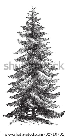 Norway Spruce or Picea abies or European Spruce, vintage engraving. Old engraved illustration of Norway Spruce tree. Trousset encyclopedia (1886 - 1891). - stock vector