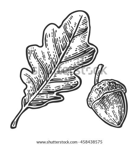 Oak Leaf And Acorn Drawing Acorns Stock Images, R...