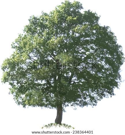Oak Tree Vector Illustration Cutout - stock vector
