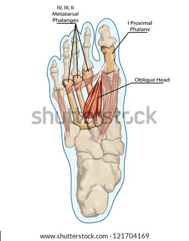 Oblique Head - Anatomy of leg and foot human muscular and bones system - stock vector