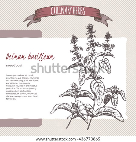Ocimum basilicum aka Sweet basil vector hand drawn sketch. Culinary herbs collection. Great for cooking, medical, gardening design. - stock vector