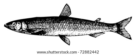 Old engraved illustration of a Old engraving of a European smelt fish or osmerus eperlanus, isolated on white. Live traced. From the Trousset encyclopedia, Paris 1886 - 1891.