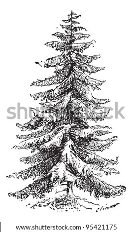 Old engraved illustration of Norway Spruce or Picea abies or European Spruce. Dictionary of words and things - Larive and Fleury - 1895 - stock vector