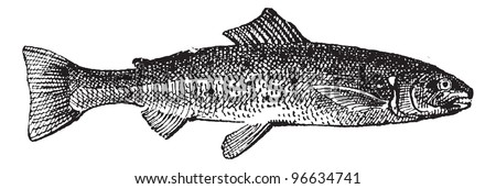 Old engraved illustration of Salmon isolated on a white background. Dictionary of words and things - Larive and Fleury ? 1895 - stock vector