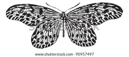 Old engraved illustration of Tree-nymph or Idea lynceus or Papilio lynceus or Hestia reinwardti isolated on a white background. Dictionary of words and things - Larive and Fleury, 1895 - stock vector