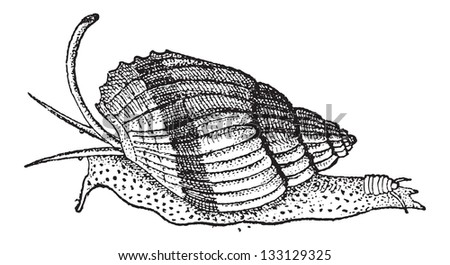 Sea Snail Drawing a Snail Vintage Engraved