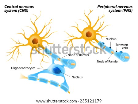 Oligodendrocytes unlike Schwann cells form segments of myelin sheaths of numerous neurons at once. Oligodendrocytes in the central nervous system and  Schwann cells in the peripheral nervous system. - stock vector