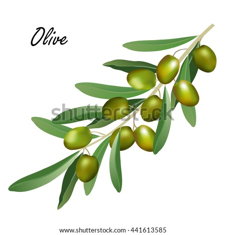 Olive branch (Olea europaea). Hand drawn realistic vector illustration of olive tree branch with leaves and green olives on white background.
