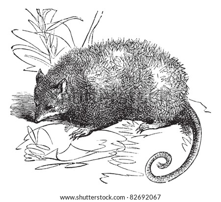 Opossum or Didelphis Virginiana, vintage engraved illustration.  Trousset encyclopedia (1886 - 1891). - stock vector