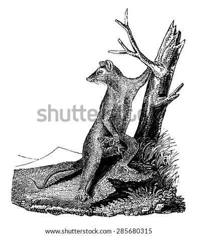 Opossum, vintage engraved illustration. Natural History of Animals, 1880.