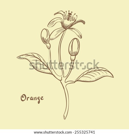 orange blossom hand drawn illustration retro stock vector royalty
