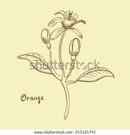 Orange Blossom Pictures Orange Blossom/ Hand Drawn