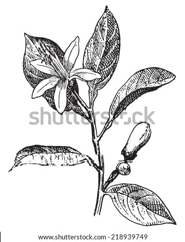 Orange, Flower and leaves, vintage engraved illustration. Dictionary of words and things - Larive and Fleury - 1895. - stock vector