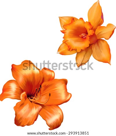 Orange lily flower. Daffodil flower or narcissus isolated on white background - stock vector