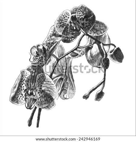 orchid. hand draw. - stock vector