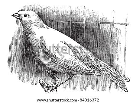 Ordinary canary, vintage engraved illustration. Trousset encyclopedia (1886 - 1891). - stock vector