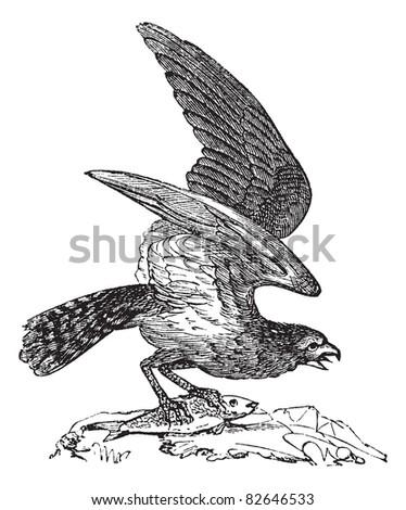 Osprey of America, Pandion carolinensis, fish eagle or sea hawk, vintage engraved illustration, Trousset encyclopedia (1886 - 1891). - stock vector