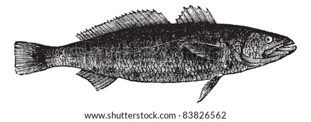 Otholithes ruber or Tiger toothed croaker fish isolated on white, vintage engraved illustration. Trousset encyclopedia (1886 - 1891). - stock vector