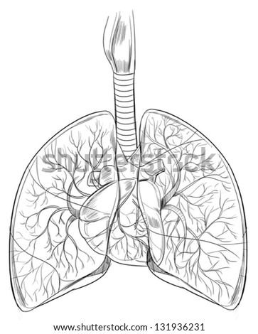 Outline sketch of the human lungs - stock vector