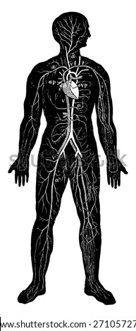 Overview of the circulatory system of man, vintage engraved illustration. La Vie dans la nature, 1890. - stock vector