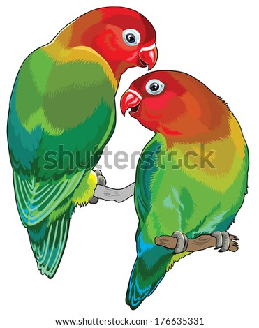 pair of fischer's  lovebirds ( agapornis fischeri ). Two small parrots isolated on white background