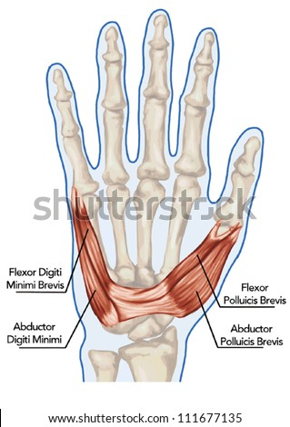 Palm human muscle anatomy � abductor, flexor, digiti, brevis - hand - stock vector