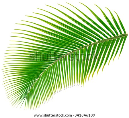 Palm tree leaf, vector illustration, isolated on white