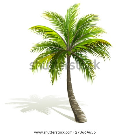 Palm tree with shadow isolated on white. Vector illustration - stock vector