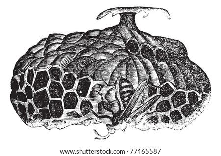 Paper wasp (Vespa nidulans) or umbrella wasp vintage engraving. Old engraved illustration of paper wasp on nest. Trousset Encyclopedia. - stock vector