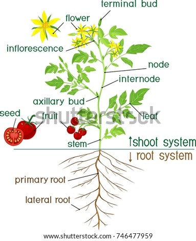 kazakova maryia s portfolio on shutterstock seed structure diagram pine bean structure diagram