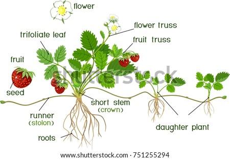 parts plant morphology garden strawberry plant stock vector royalty rh shutterstock com Plant Root Diagram Plant Anatomy Diagram