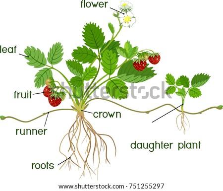 Parts Plant Morphology Garden Strawberry Plant Stock Vector Royalty