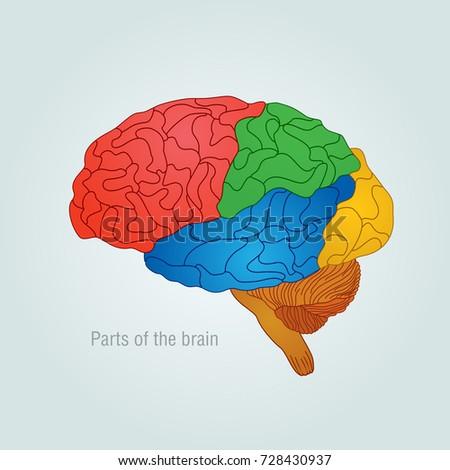 Color Diagram Of The Brain Free Car Wiring Diagrams