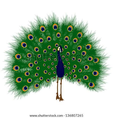 Peacock raise his feathers, vector - stock vector
